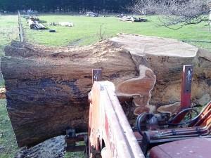 Large Macrocarpa Log