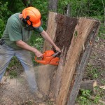 Cutting-a-Hollow-Oak-Log